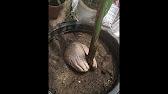 Ховея. Характерные особенности ховеи. Ховея или кентия – так называется вечнозелёная пальма. В домашних условиях и в теплицах лучше всего.