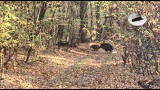 Wild boar hunting in Romania #2
