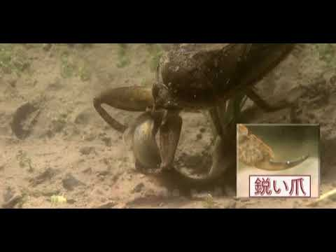 A Kirkaldyia deyrolli  1815   baratas d'água, gigante   caçado  suas  presas  e matado