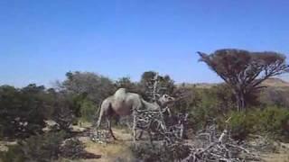 Somali camel- ( Geel daaqaya)