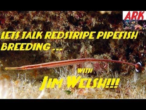 Lets Talk Breeding Pipefish With Jim Welsh!!! (RedStripe)