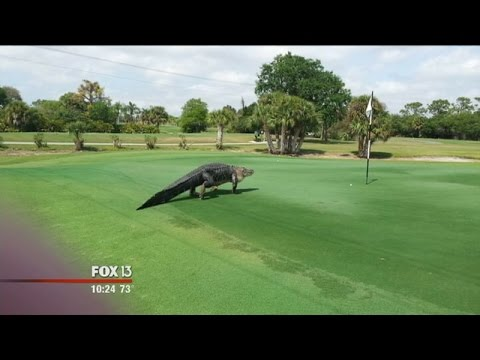 Massive gator at Florida golf course goes viral