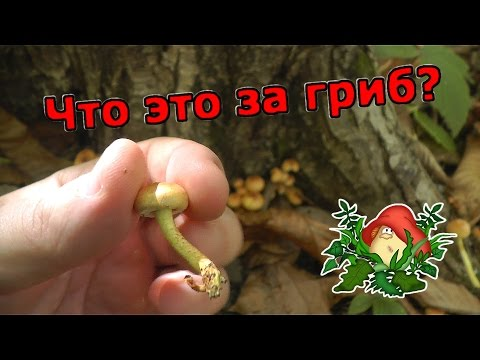 ❓ ЧТО ЭТО ЗА ГРИБЫ? Неизвестные грибы, похожие на опята (ложные опята)