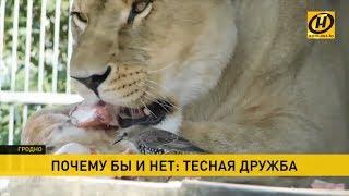 Львица подружилась со скворцом. Как объяснить странные отношения животных в зоопарке?