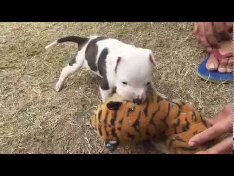 pitbull fight with tiger 17 day puppy fight
