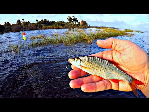 GIANT Florida Bass On Golden Shiners (St Johns River)