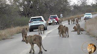 Lions, Lions, Lions, Lions And More Lions - The Nwaswitsontso Lion Pride. AMAZING.