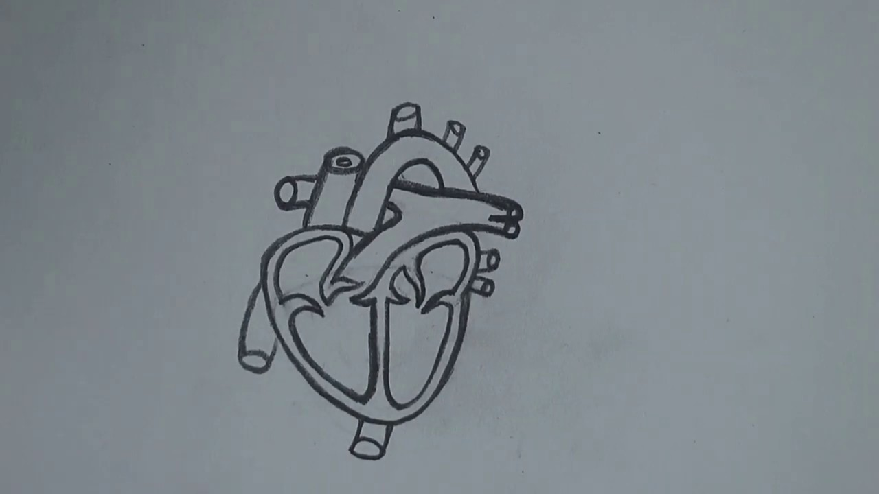 Heart Diagram || How to Draw Human Heart Diagram Step By ...
