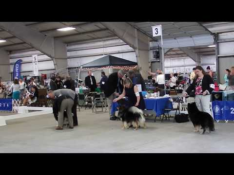 Rogue, Rune and Taavi at Northwest Cluster Dog Show - 5-22-2017