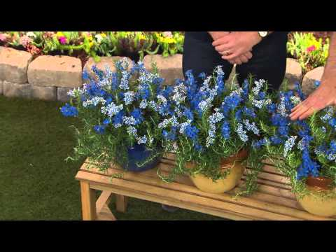 Cottage Farms Dazzling Design 4-pc Sapphire Star Lithodora Collection with Dan Wheeler
