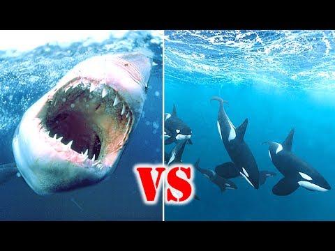 Great White Shark Vs Orca Who Would Win Shark Week