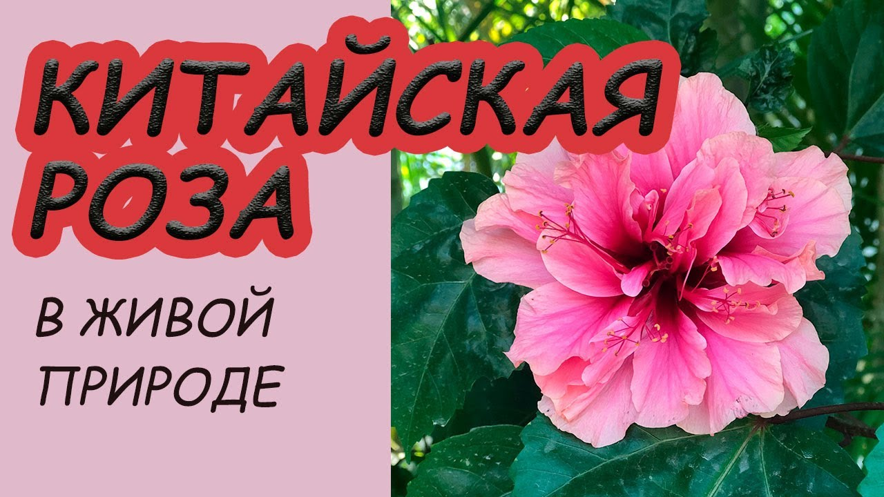 ГИБИСКУС или Китайская роза в живой природе. Особенности ...