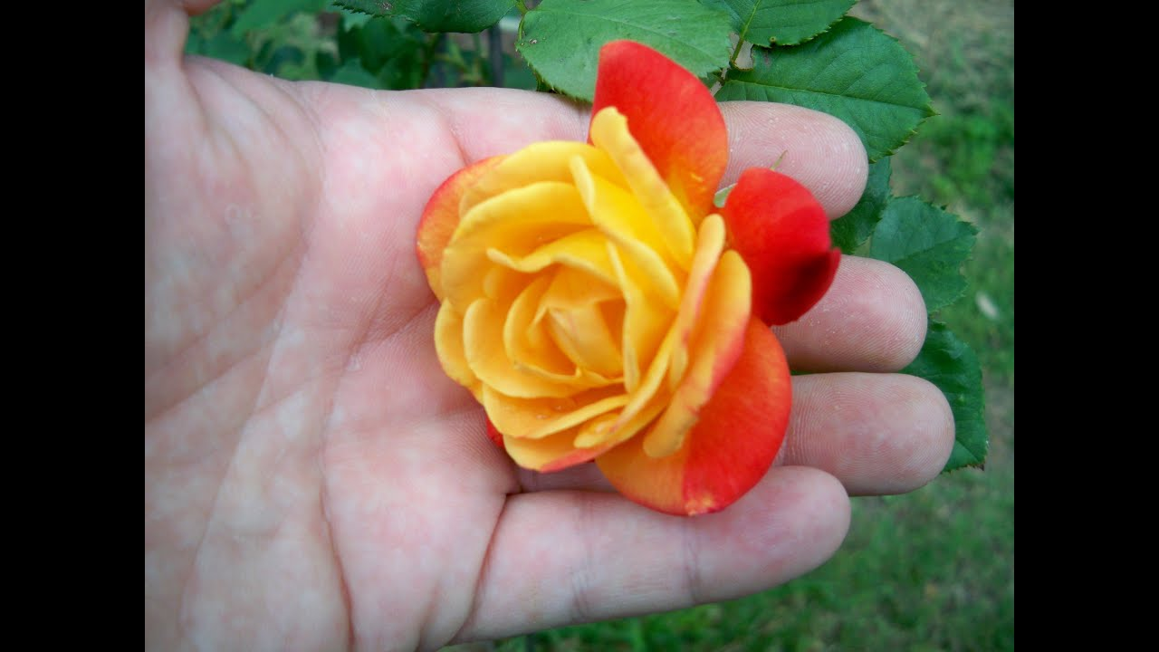 Rose plant tips rose care bigger better roses youtube - Planting rose shrub step ...
