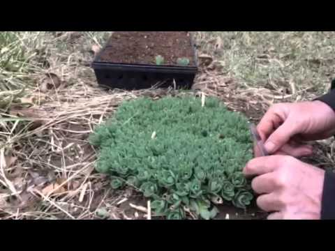 "Grow your own Sedum From Free Cuttings  ""Live For Ever"" Hardy Perennials"