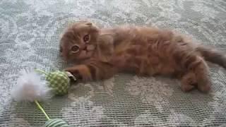 Шотландская вислоухая кошка видео