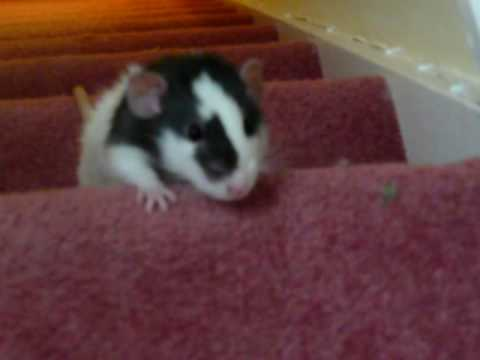 Very cute Dumbo Rat racing up the stairs