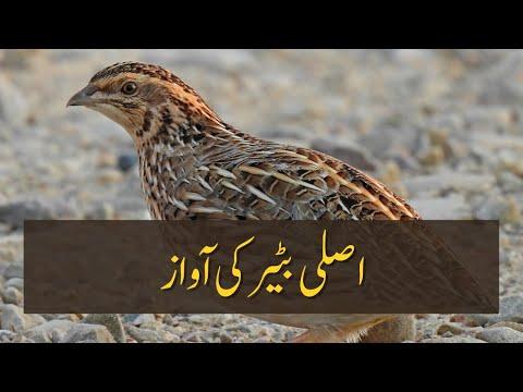 Batair ki Awaz   Quail Sounds ---  [Tank, Khyber Pakhtunkhwa]