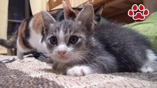 仔猫が気になってしまう三毛猫のみけ Mi ke and Tora Calico cat kitten is a concern