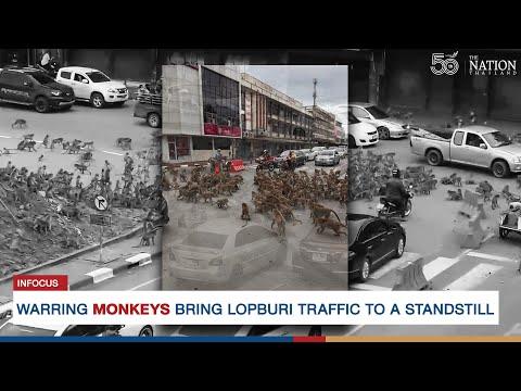 Warring monkeys bring Lopburi traffic to a standstill | The Nation Thailand