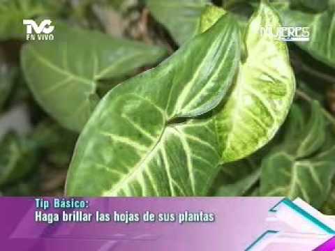 haga brillar las hojas de sus plantas metvc youtube