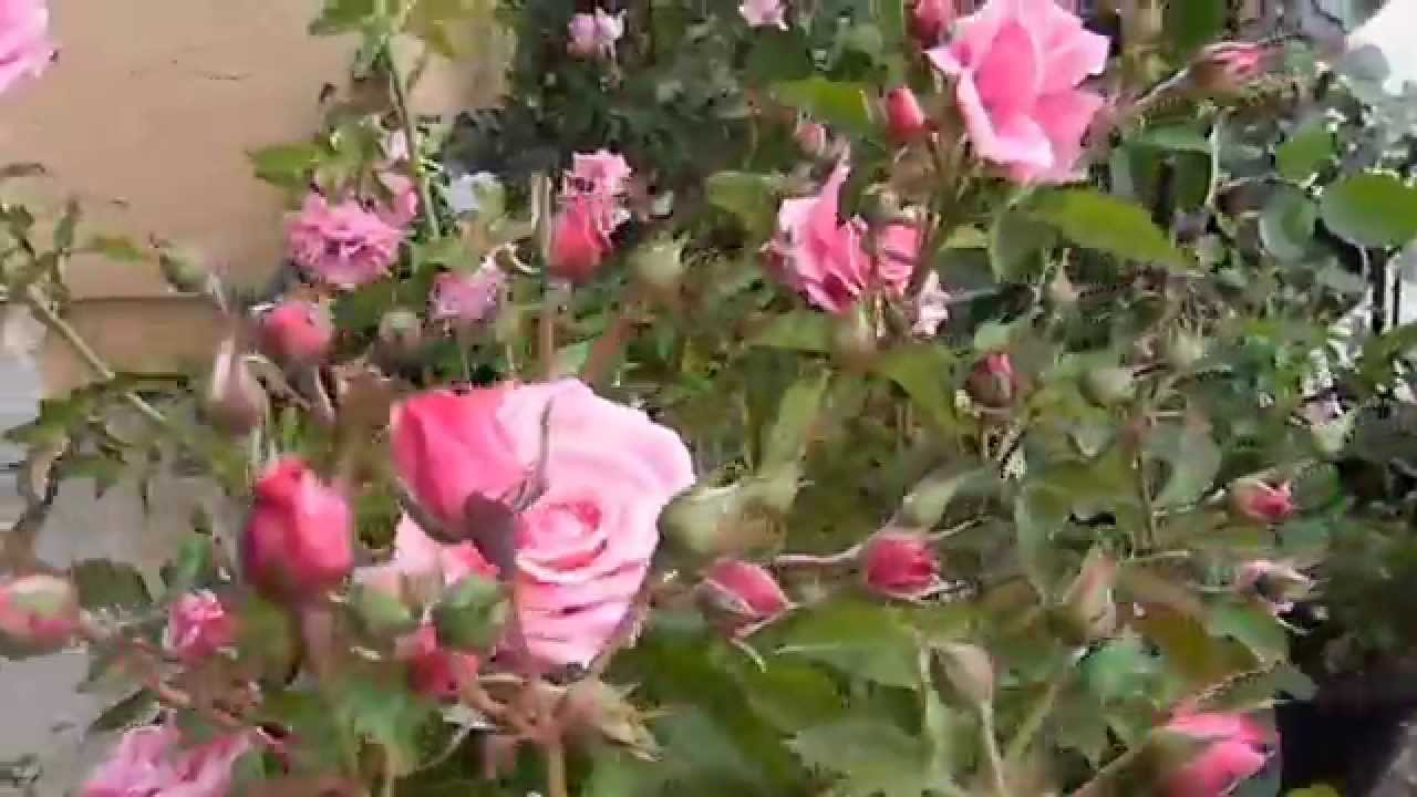 Gene Boerner Floribunda Rose Youtube
