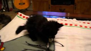 Lincoln Plays with Toy While Sitting Up(Quadriplegic Kitty).mp4