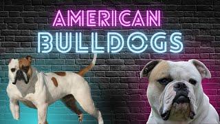 ***Bonus*** Breeder Profile 003: Vito Alu  American Bulldogs Part 3
