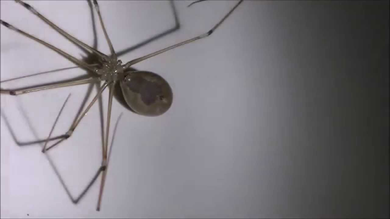 BROWN RECLUSE IDENTIFICATION !!! MUST SEE !!! - YouTube