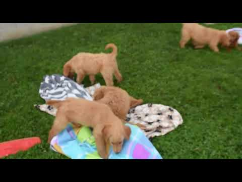 Preview Goldendoodle Puppies For Sale Amos Smucker