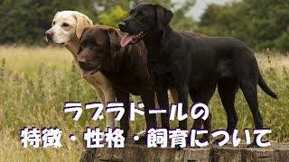 ラブラドールレトリバーの特徴や飼育、運動についてお話ししてます。【...