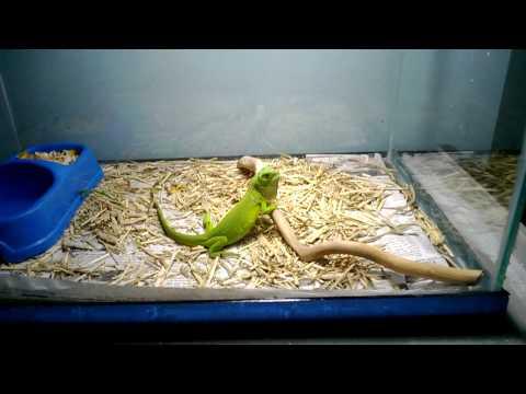 Iguana baby - kỳ nhông nam mỹ