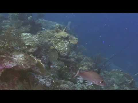 Caribbean Fish : Mahogany Snapper Identification