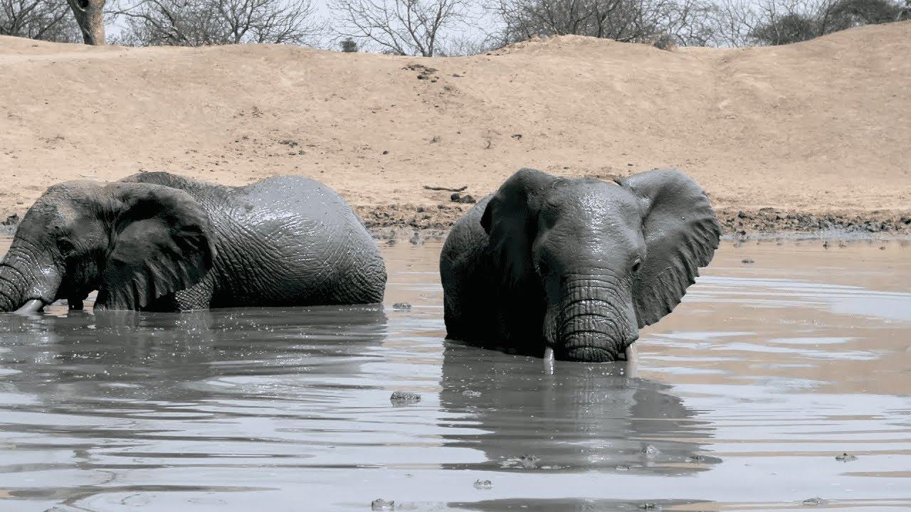 African Elephants Take Mud Bath Sheldrick Elephant