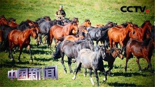 [中国新闻] 甘肃肃南:壮观!祁连山下牛羊浩荡转场   CCTV中文国际