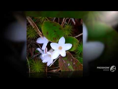 Epigaea - garden plants