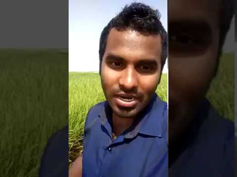 Farming Rice in Saudi