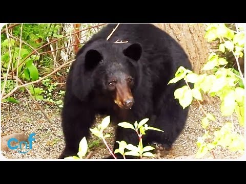 Little Dog Chases Away Bear | The New Scaredy Cat