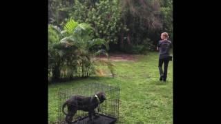Neapolitan Mastiff 12 weeks old basic manners training