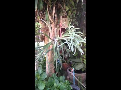 Platycerium - Staghorn fern - Elkhorn