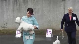 ВЕСТ ХАЙЛЕНД ВАЙТ ТЕРЬЕР, видео с выставки собак