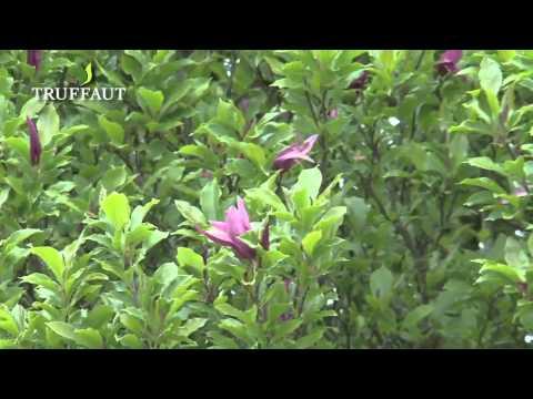 Tout savoir sur le rhododendron - Jardinerie Truffaut TV