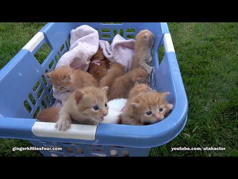 2017 Edition Basket of 11 Meowing Kittens