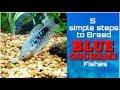 How To Breed Blue Gourami Fish In Home Aquarium ग रम मछल क स प ल mp3
