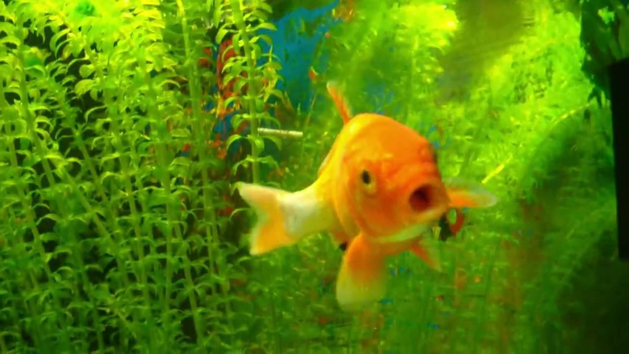Koi im aquarium koi in fish tank youtube for Koi im aquarium