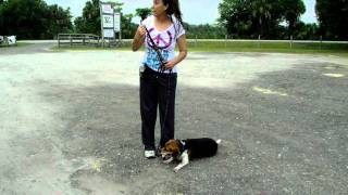Beagle Dallas Dogtra E Collar Starting Off Leash Training