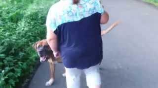 マックス犬気は優しくて力持ちの土佐犬チャタ郎君と娘の散歩です。