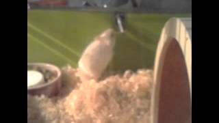 Onneli kääpiö hamsteri