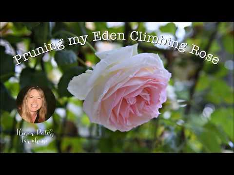 Easy Prune A Climbing Rose On An Arbor. Eden Rose