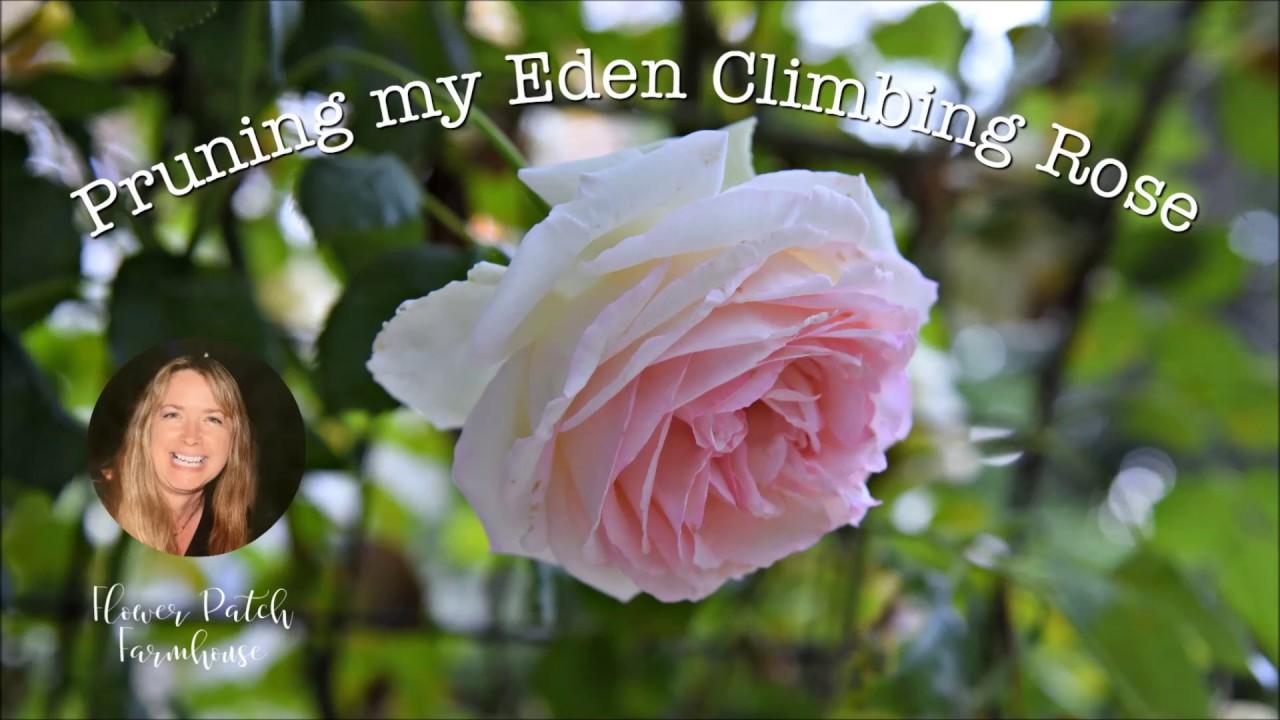 Easy Prune A Climbing Rose On An Arbor Eden Rose Youtube