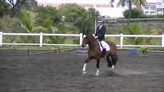 Dressage Cob Normand